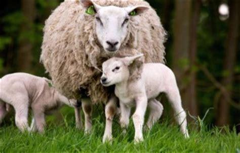 uieronsteking schapen onder de loep