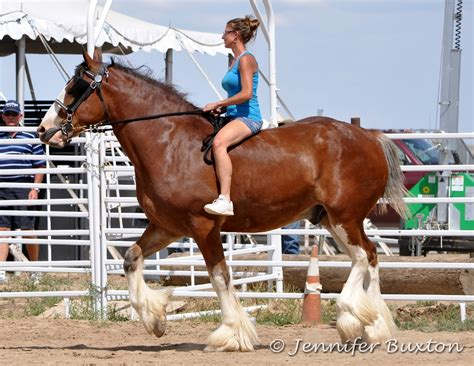 horse draft horses barrel racing clydesdale rider braymere ride bareback breed largest pretty patiently entered waited starter ring he saddlery