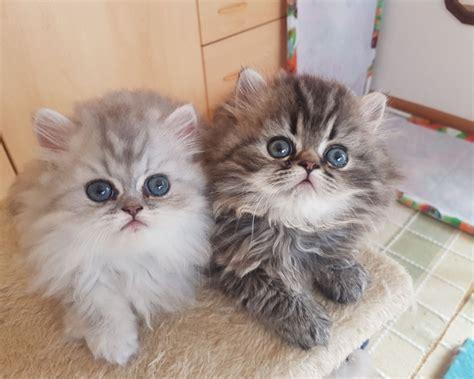 allevamento gatti persiani roma cuccioli di persiano da allevatori italiani