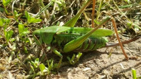 Lauku sētas biotops #10. - BALTAIS RUNCIS