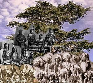 Cedar - Sacred Tree With Medicine Power In Native American ...