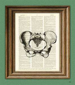 Human Female Pelvis Pelvic Bone Anatomy Illustration