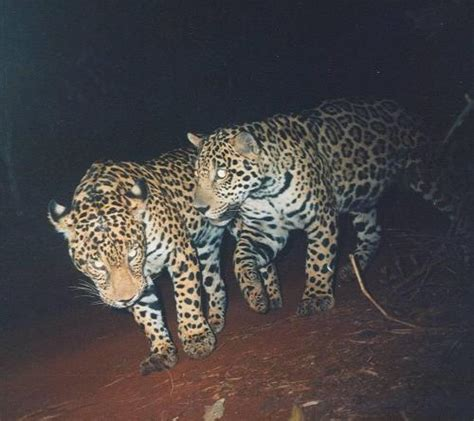 How Are Jaguars Endangered by A Research Project To Help Preserve The Endangered Jaguar