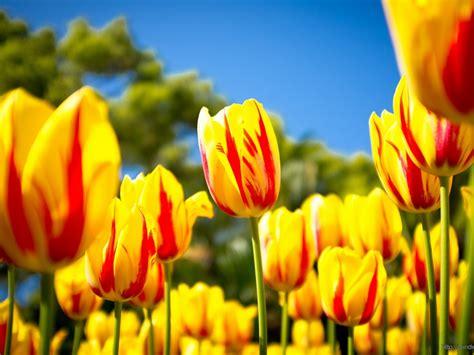 Beautiful Yellow Tulips : Wallpapers13.com