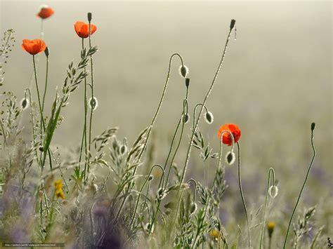 tlcharger fond d ecran coquelicots fleurs papier peint fonds d ecran gratuits pour votre
