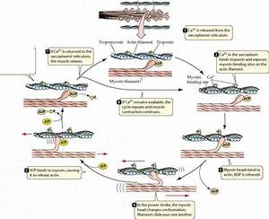 Steps Of Muscle Contraction - Plasma Membrane