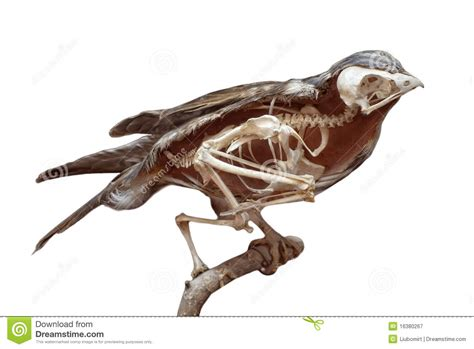 without crows dissected bird with skeleton stock image image of animal