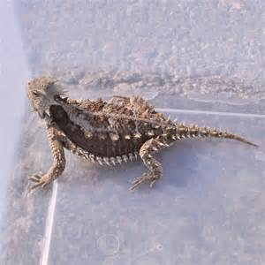 Mexican Horned Lizard for Pets