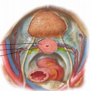 Male and Female Pelvic Viscera - StudyBlue