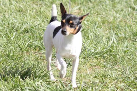 toy fox terrier breed information toy fox terrier images