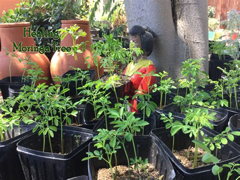 Moringa News Moringa Blog Moringa Trees Information