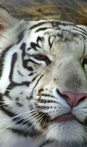 White Tiger | Beautiful white Bengal tiger | Mark Evans ...