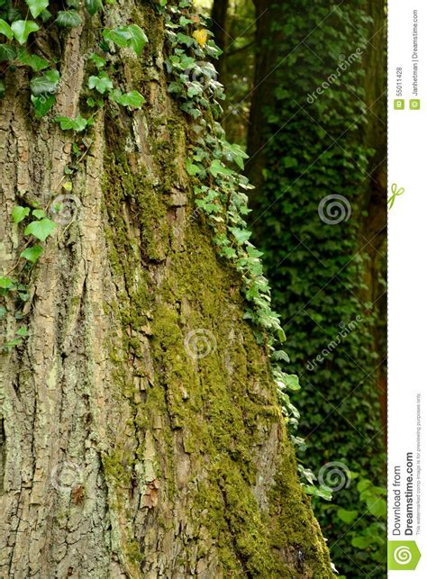 lierre et mousse sur le tronc d arbre photo stock image