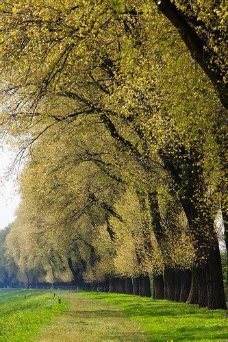 Poplars on dike, spring. | A closer look at the poplars, gro… | Flickr