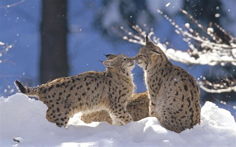 Winter Animal Desktop Wallpaper - widescreen winter animal wallpapers www pixshark