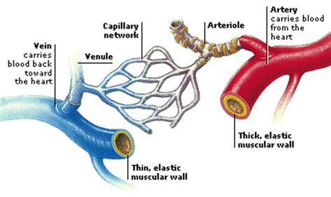 10 photos of the the human blood vessels labeled. Blood Vessels - The Circulatory System