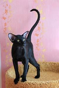 270 best images about Cool cat breeds on Pinterest ...