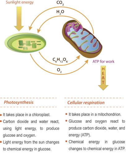 photosynthesis  worksheet google search biology