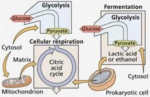 Cellular Metabolism And Fermentation