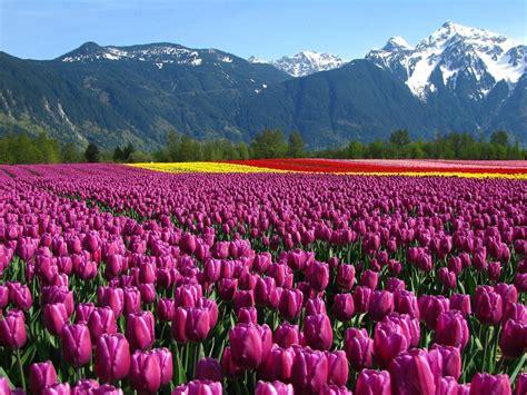 tulips tourism  kashmir wall street international magazine
