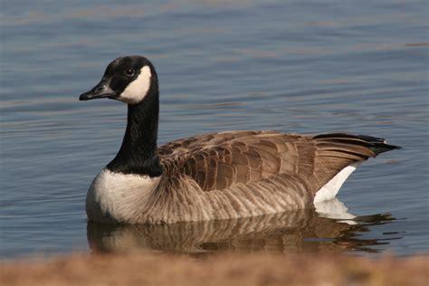 the canada goose a wild bird the wildlife