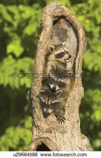 Raccoon Tree Clip Art