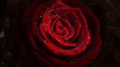 Rose Flower Water 4k Flowers Drops Ultra