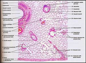 Pin By Aracely Limon On   Histology
