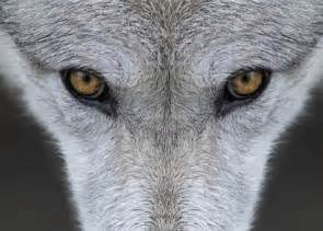 Gray wolf in Iowa killed: Lower-48 range for recovering ...