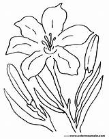 Lily Coloring Easter Pages Flower Tiger Stargazer Drawing Printable Sheet Amazing Lovely Awesome Getcolorings Lilies Getdrawings Calla Colormountain Activity sketch template