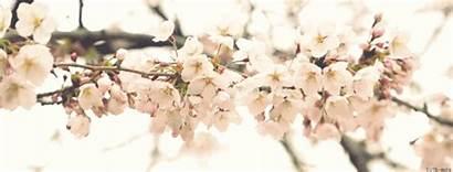 Sakura Cherry Blossom Tree Pastels Pastel Flowers
