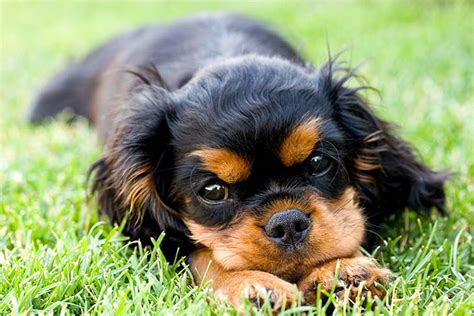 cavalier king charles spaniel puppies  sale akc