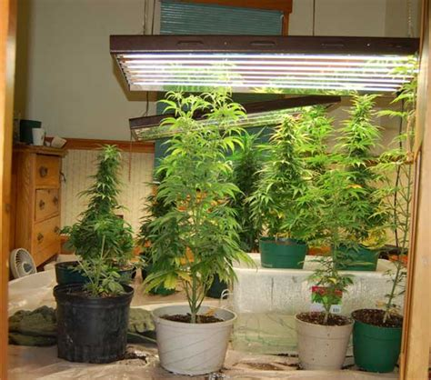 Growing Pot Plants From Seeds Indoor Marijuana Garden Suggestions
