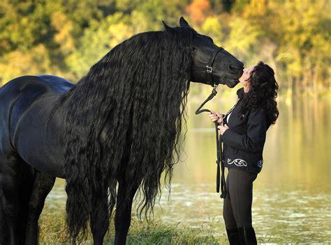 Stallion Friesian Horses Sale