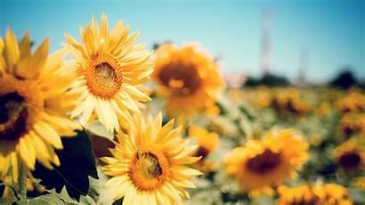 Sunflower Garden Resolution Wallpapers Flowers 4k Backgrounds