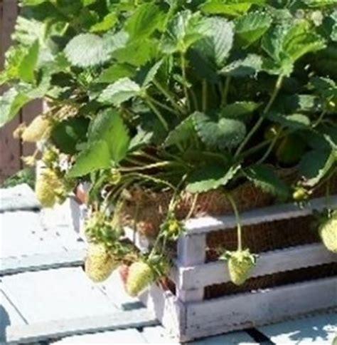 fragole in vaso coltivazione fragole in vaso domande e risposte orto e frutta