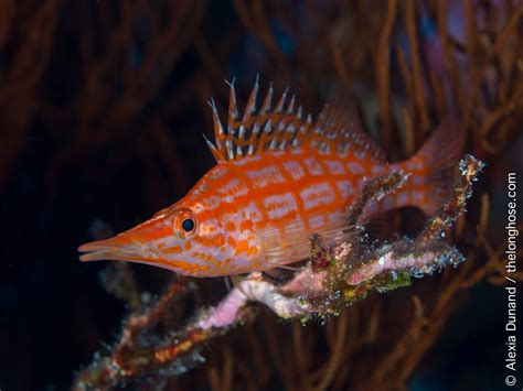 alexia dunand hawkfish longnose sea featured underwater weekly photographer