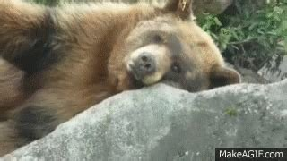 bear sleeping gifs tenor