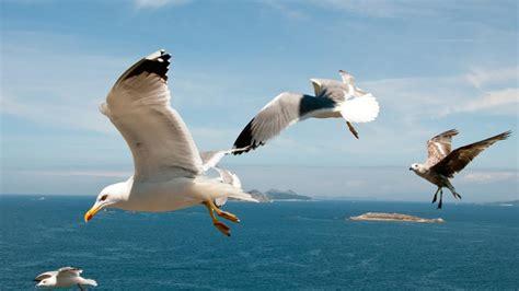 kinds  seagulls referencecom