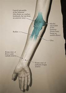Human Anatomy For The Artist  The Elbow Joint  Part 1