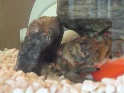 un 233 crevisse d aquarium mange un poisson crawfish eat a fish