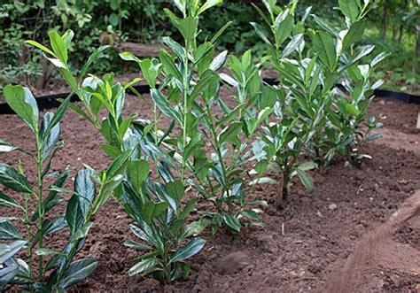 Pflanzzeit Kirschlorbeer Hecke by Kirschlorbeer Hecke Pflanzen Hecke Kirschlorbeer