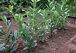Kirschlorbeer Pflanzen Abstand : hecke pflanzen 25 best ideas about hecke pflanzen on ~ Lizthompson.info Haus und Dekorationen