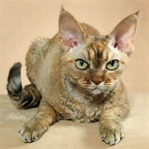 cat breeds that don t shed cat breeds that don t shed and cats gallery