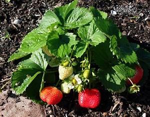 Strawberries Gardening Solutions University Of Florida