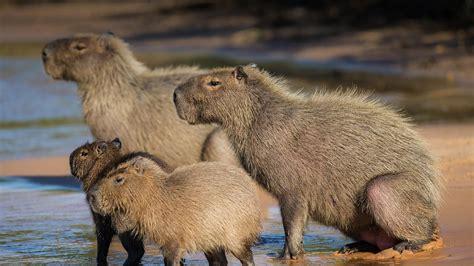 unique computer desk capybara wallpapers images photos pictures backgrounds