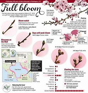 Cherry Blossom - Full Bloom - Infographic