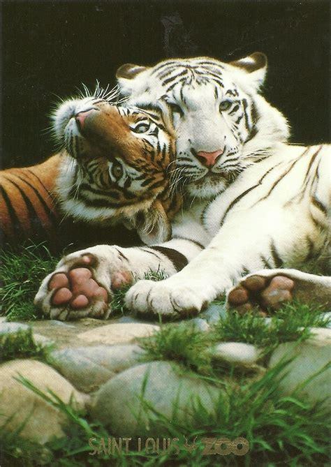 Best Tiger Favorite Animal Images Pinterest