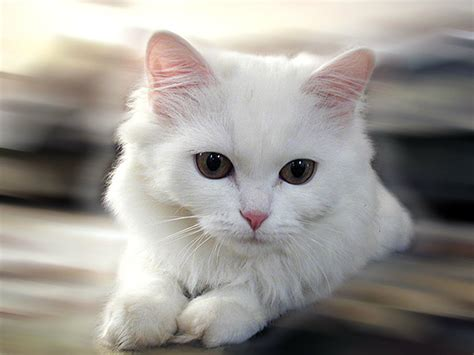 Cute White Cats Hd Wallpapers & Beautiful Pictures Hd