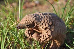 The birth of a pangolin - Africa Geographic